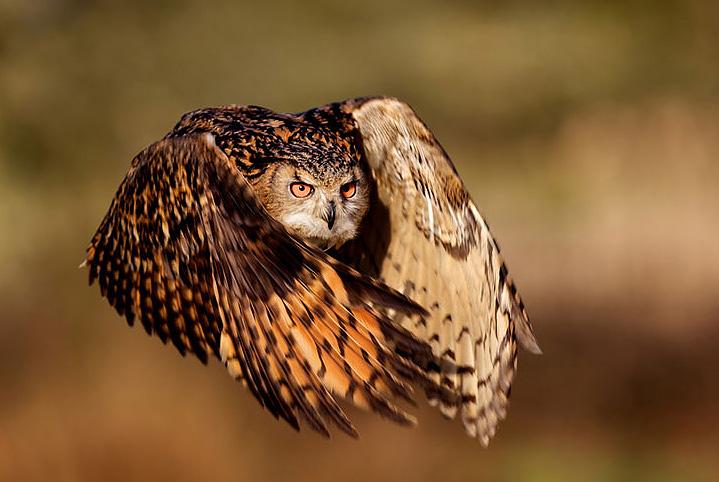 coruja-voo-simbolo